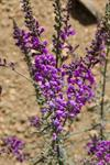 Purple Toadflax (Linaria purpurea) photo