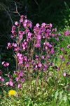 Red Campion (Silene dioica) photo