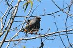 Red-footed Falcon (Falco vespertinus) photo