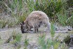 Red-necked wallaby  (Macropus rufogriseus) photo