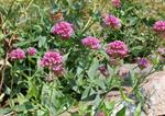Red Valerian (Centranthus ruber) photo