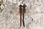 Red-veined darter (Sympetrum fonscolombii) photo