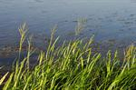 Reed Sweet-Grass / Great Water Grass (Glyceria maxima) photo