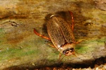 Rhantus exsoletus photo