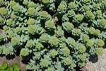 Rhodiola rosea ssp. arctica photo