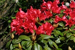 Rhododendron (Red Juwel) photo