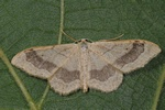 Riband Wave (Idaea aversata) photo