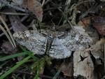 Ringed Carpet (Cleora cinctaria) photo