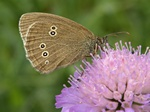 Ringlet (Aphantopus hyperantus) photo