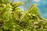 River Feather-moss (Brachythecium rivulare) photo