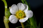 River Water Crowfoot (Ranunculus fluitans) photo