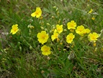 Rock Rose (Helianthemum nummularium ssp. obscurum) photo