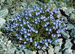 Rock Speedwell (Veronica fruticans) photo