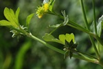 Rough-fruited Buttercup (Ranunculus muricatus) photo