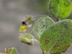Round-Leaved Fluellen (Kickxia spuria) photo