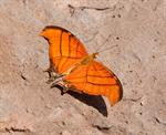 Ruddy Daggerwing (Marpesia petreus) photo