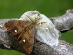 Rusty Tussock Moth (Orgyia antiqua) photo