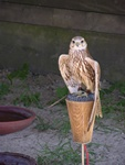 Saker Falcon (Falco cherrug) photo