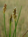 Saltmarsh Flat Sedge (Blysmus rufus) photo