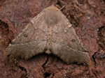 Scalloped Hazel (Odontopera bidentata) photo