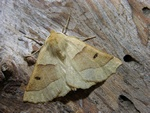 Scalloped Oak (Crocallis elinguaria) photo