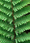 Scaly Male Fern (Dryopteris affinis) photo