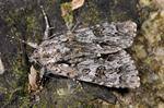 Scarce Dagger (Acronicta auricoma) photo