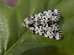 Scarce Merveille du Jour (Moma alpium) photo