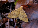Scarce Umber (Agriopis aurantiaria) photo