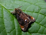 Scarce Vapourer (Orgyia recens) photo
