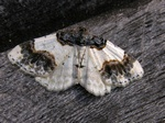 Scorched Carpet (Ligdia adustata) photo