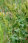 Scottish Dock (Rumex aquaticus) photo