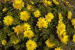 Adonis amurensis photo
