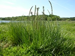 Sea Arrowgrass (Triglochin maritima) photo