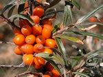 Sea Buckthorn (Hippophae rhamnoides) photo