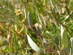Sea Purslane (Atriplex portulacoides) photo