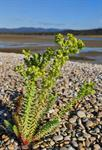 Sea Spurge (Euphorbia paralias) photo