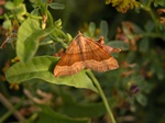 Shaded Broad-bar (Scotopteryx chenopodiata) photo