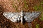 Shaded Pug (Eupithecia subumbrata) photo
