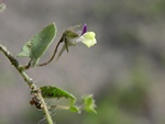 Sharp-Leaved Fluellen (Kickxia elatine) photo
