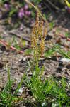 Sheep´S Sorrel (Rumex acetosella) photo