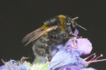 Short-haired bumble-bee (Bombus subterraneus) photo