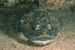 Shorthorn sculpin, Bull-rout (Myoxocephalus scorpius) photo
