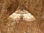 Shoulder Stripe (Anticlea badiata) photo
