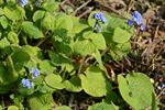 Siberian Bugloss (Brunnera macrophylla) photo
