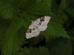 Silver-ground Carpet (Xanthorhoe montanata) photo