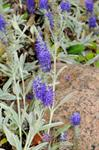 Silver Speedwell (Veronica spicata ssp. incana) photo