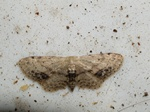Single Dotted Wave (Idaea dimidiata) photo