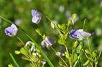 Slender Speedwell (Veronica filiformis) photo