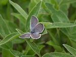 Small Blue (Cupido minimus) photo